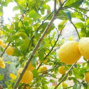 limonero limoncello