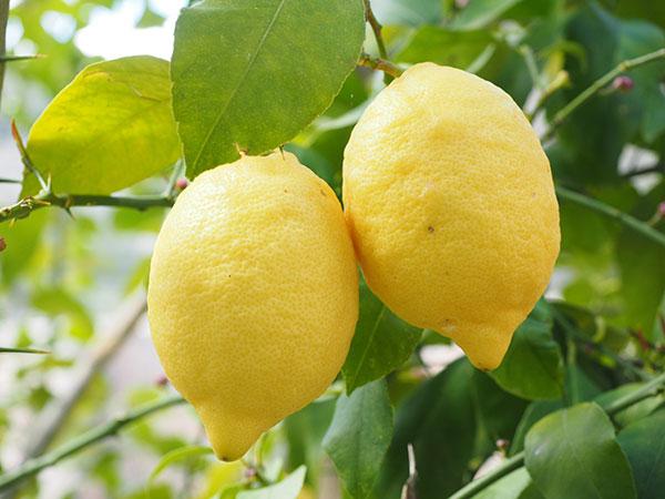 limones licores tipicos italianos